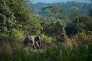 Asian elephant (Elephas maximus)<br /> Nameri Wildlife Reserve<br /> Assam<br /> North East India