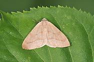 Barred Red - Hylaea fasciaria