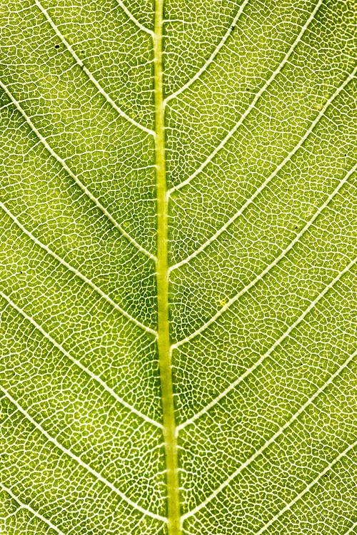 Texas Buckeye Tree (Aesculus glabra var. arguta), Texas Buckeye Trail, Great Trinity Forest, Dallas, Texas, USA.