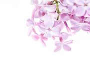 Macro photo of the flowers of heirloom lilac shrub (Syringa vulgaris)