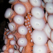 The Giant Pacific Octopus (Octopus dofleini) can be found along the Pacific coast from Alaska to southern California. This closeup view of octopus leg suckers is at the Seattle Aquarium, Washington, USA.