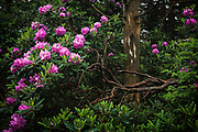 Blooming Rhododendron