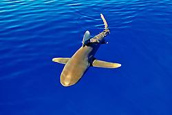 oceanic whitetip shark, Carcharhinus longimanus, cruising near the surface of the ocean, IUCN Vulnerable Species, Kona Coast, Big Island, Hawaii, USA, Pacific Ocean