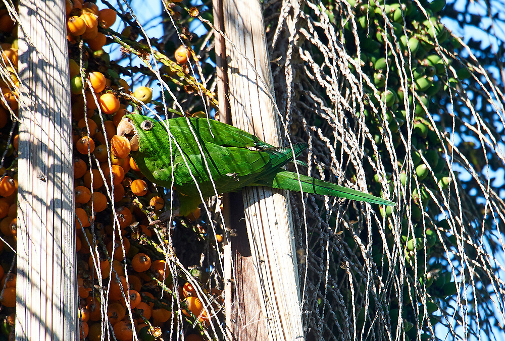 White-eyed Parakeet (Aratinga leucophthalma) feeding on palm fruits, Mangueiras Ranch,  Bairro da Ponte Nova, Sao Paulo, Brazil (Photo: Peter Llewellyn)