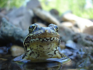 Cascades Frog<br /> <br /> Todd Pearsons/Engbretson Underwater Photography