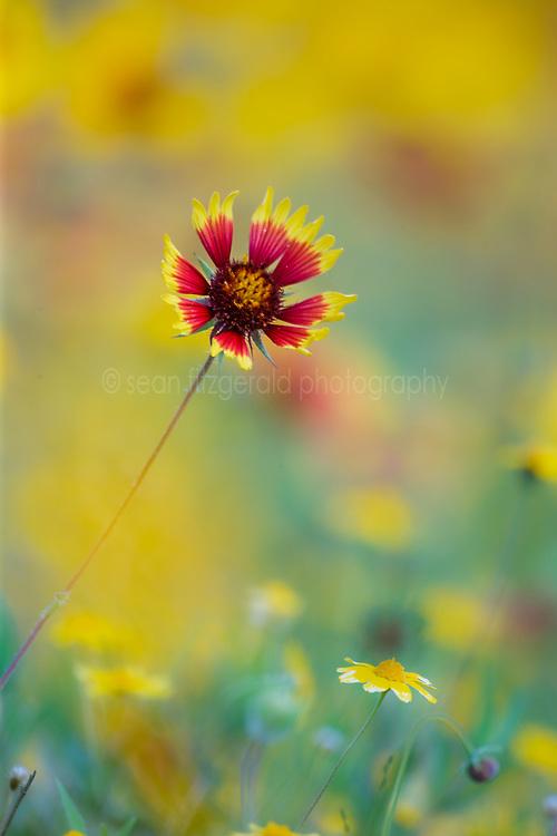 Indian Blanket, (Gaillardia pulchella) in field of yellow. Also called Firewheel.  ,  Hill Country region, Texas, USA. North America