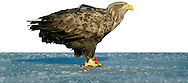 White-tailed Eagle - Haliaeetus albicilla. W 190-240cm. Immense raptor with long, broad and parallel-sided wings, and by relatively short, wedge-shaped tail. Surprisingly manoeuvrable, despite it size, and catches fish and waterbirds while hunting low over water. Sexes are similar. Adult has mainly brown plumage, palest on head and neck. At rest, white tail is often obscured by wings. Bill and legs are yellow. In flight from below, looks mainly dark except for paler head and neck, and white tail. Juvenile is similar to adult but looks darker overall and tail is uniformly dark. Subadult acquires adult plumage over successive moults; last immature feature to disappear is dark terminal band on tail. Voice Utters mournful whistling calls. Status Formerly just a rare visitor from mainland Europe but now reintroduced successfully to certain Scottish islands.