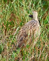 American Bittern (Botaurus lentiginosus). Black Point Wildlife Drive. Merritt Island National Wildlife Refuge. Image taken with a Nikon D3x camera and 500 mm f/4 VR lens.