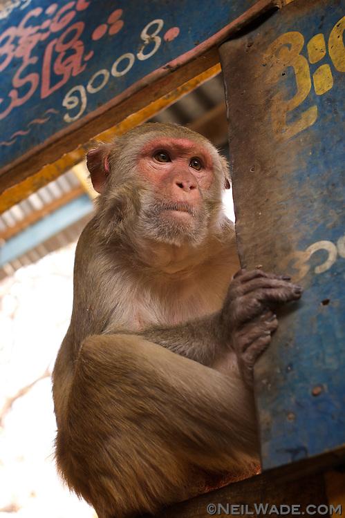 A Macaque monkey at Mt. Popa, Burma.