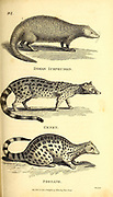 Mongoose and Genet from General zoology, or, Systematic natural history Part I, by Shaw, George, 1751-1813; Stephens, James Francis, 1792-1853; Heath, Charles, 1785-1848, engraver; Griffith, Mrs., engraver; Chappelow. Copperplate Printed in London in 1800. Probably the artists never saw a live specimen