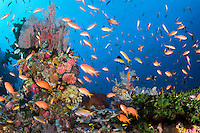 Anthias feed in the current around colorful hard corals and sea fans<br /> <br /> Shot in Raja Ampat Marine Protected Area West Papua Province, Indonesia