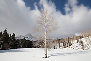 Large quaking aspen (Populus tremuloides) tree growing alone in Uncompahgre National Forest, Colorado.