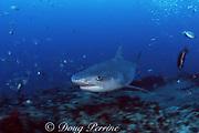 tiger shark, Galeocerdo cuvier, off Durban, KwaZulu-Natal, South Africa ( Indian Ocean )