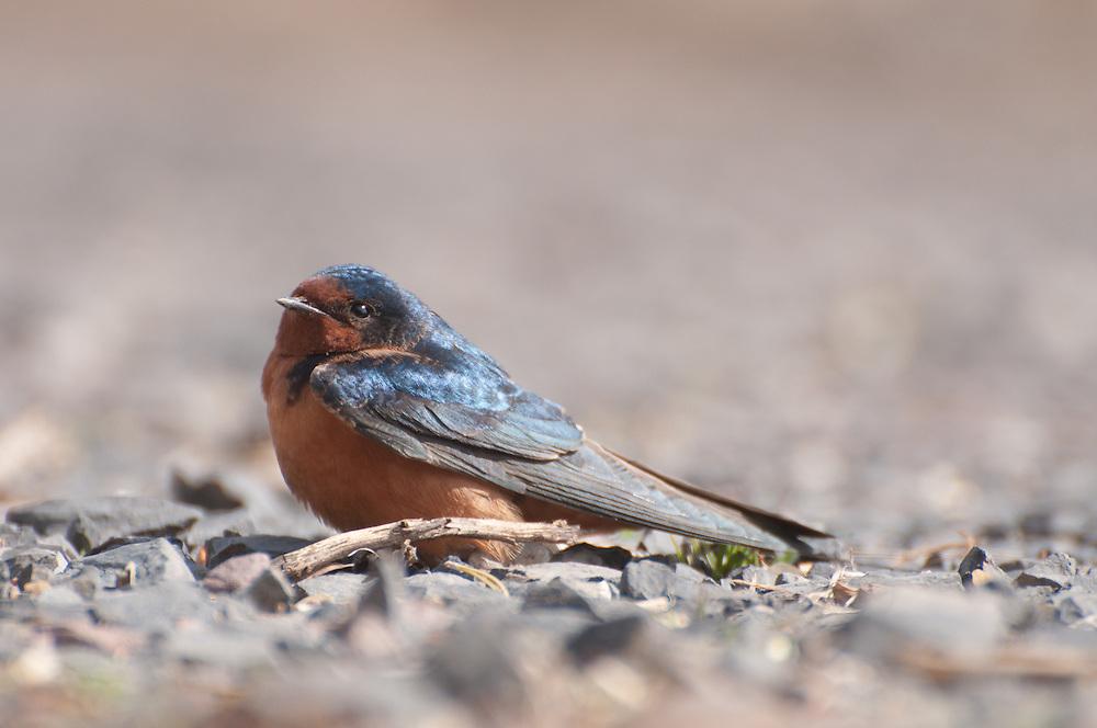 North American Barn Swallow (Hirundo rustica erythrogaster) in Malheur National Widlife Refuge, Oregon.