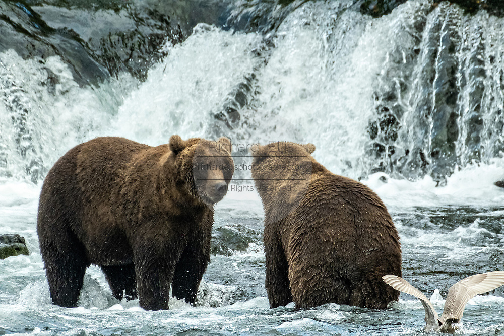 Sub-adult Brown Bears greet each other at Brooks Falls in Katmai National Park and Preserve September 15, 2019 near King Salmon, Alaska. The park spans the worlds largest salmon run with nearly 62 million salmon migrating through the streams which feeds some of the largest bears in the world.