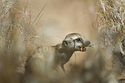 Die kleinen Erdmännchen (Suricata suricatta) sind im Alter von zwei Monaten zwar schon außerhalb der Höhlen aktiv, können aber noch nicht selbständig Beute fangen. Sie sind auf sogenannte Helfer angewiesen, halbwüchsige oder erwachsene Tiere der Gruppe ohne eigenen Nachwuchs, die Insekten, Spinnen, Reptilien oder wie hier Skorpione für sie erbeuten. Der Giftstachel wird von dem Helfer-Tier abgebissen und die entwaffnete Beute dem Jungtier überlassen. |  Suricate or Slender-tailed Meerkat (Suricata suricatta)
