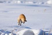 Red fox (Vulpes fulva) in winter