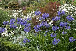 Agapanthus 'Loch Hope' and Anemone x hybrida 'Honorine Jobert'  in the Rose Garden at Sissinghurst Castle