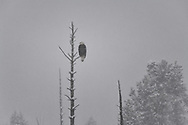 A bald eagle perches in a dead lodgepole pine during a snowstorm.