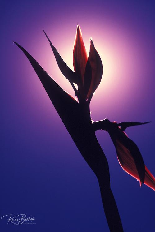 Silhouette of Bird of Paradise flower (Strelitzia reginae - Los Angeles City Flower), Los Angeles, California USA
