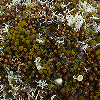 """Much of the Russian Arctic tundra is comprised of mosses and  lichens.  The appropriately-named white, multi-branched """"reindeer lichen,"""" (shown here) is a staple for its namesake and is sometime mistakenly called """"reindeer moss."""""""