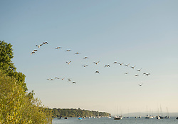 Wild geese flying formation lake clear sky
