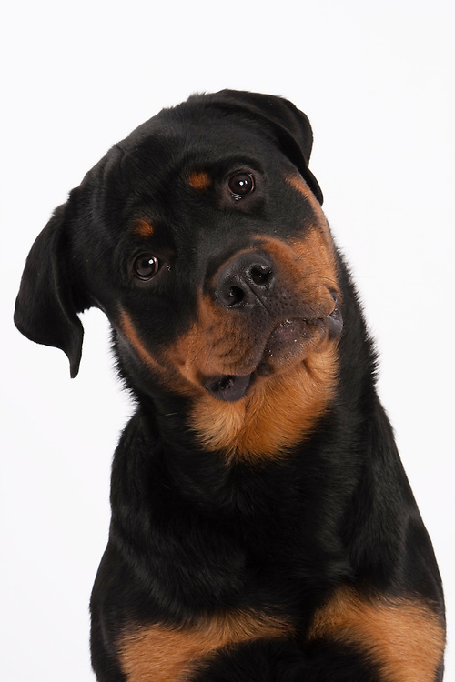 Slim Rottweiler dog in head and shoulders shot looking at camera with head tilted