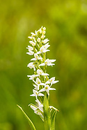 Closeup of Bog Candle (Platanthera dilatata) at Hatcher Pass in Southcentral Alaska. Summer. Afternoon.