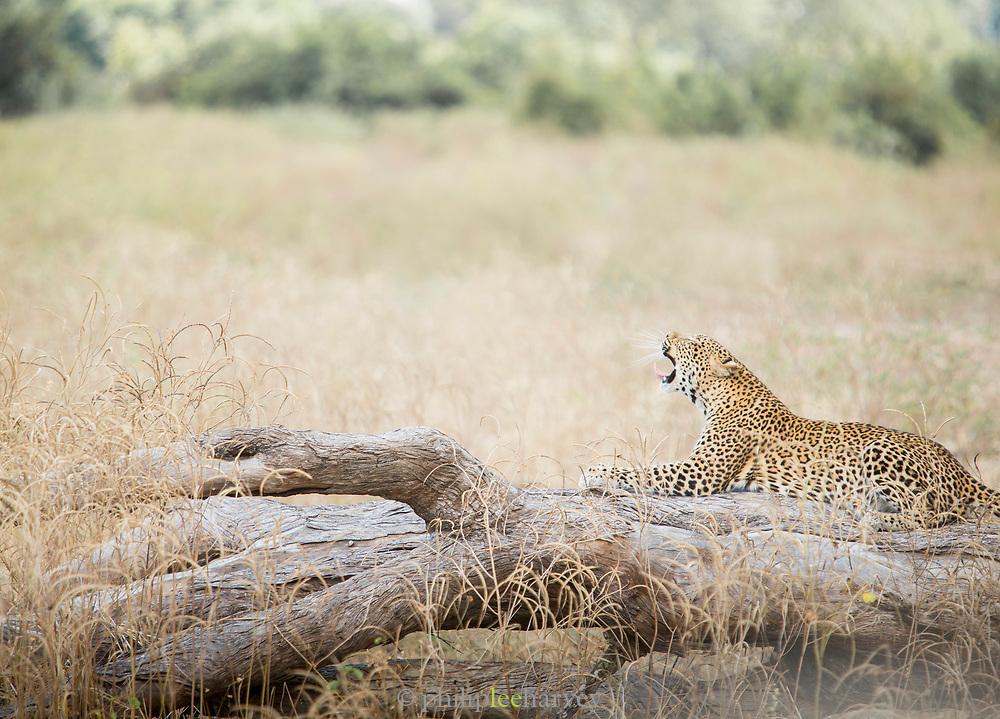 Leopard yawning South Luangwa National Park, Zambia