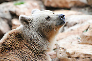 Portrait of a Syrian brown bear (Ursus arctos syriacus)