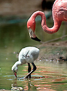 A baby flamingo feeds in the water as his mother looks on. The new baby was born July 22, at the Sacramento Zoo.