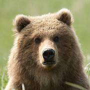 A portrait of an Alaskan Brown Bear lying in the grass. Alaska