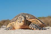 hawksbill sea turtle, Eretmochrlys imbricata, daytime nesting, female returns to sea after laying eggs, Delambre Island, Western Australia ( Indian Ocean )