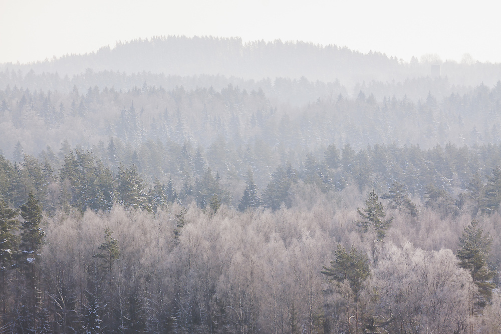 Frosted tree tops of boreal forest in sunny winter day, Latvia Ⓒ Davis Ulands | davisulands.com