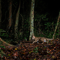The leopard cat (Prionailurus bengalensis) is a small wild cat of South and East Asia. Camera trap image from Thailand.