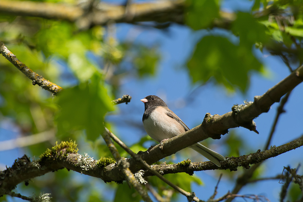 A pale male dark-eyed junco perches in a tree between Seattle and Tacoma, WA.
