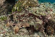 Raja Epaulette Shark (Hemiscyllium freycineti)<br /> Raja Ampat<br /> West Papua<br /> Indonesia