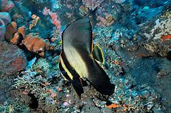 Platax pinnatus, Spitzmaul-Fledermausfisch, Jungtier, juvenile Shaded batfish, Dusky batfish, Tulamben, Bali, Indonesien, Indopazifik, Bali, Indonesia Asien, Indo-Pacific Ocean, Asia
