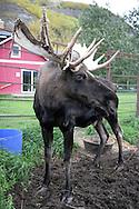 12th September 2008, Wasilla, Alaska. A moose near the hometown of the Alaskan Governor, Sarah Palin. Palin is the US Republican Vice Presidential pick. PHOTO © JOHN CHAPPLE / REBEL IMAGES.tel: +1-310-570-910