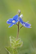 Germander Speedwell, Veronica chamaedrys, Monkton Nature Reserve, Kent, UK, grassland perennial flower