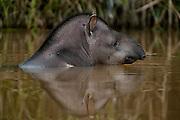 Brazilian Tapir (Tapirus terrestris)<br /> Iwokrama Forest Reserve<br /> GUYANA<br /> South America