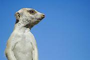 Durch die so menschlich wirkende, aufrechte Körperhaltung und die unserer eigenen Ohrmuschel so ähnlichen Ohren  haben die Erdmännchen (Suricata suricatta) einen hohen Sympathie-Faktor und verleiten oft zum Schmunzeln.     Suricate or Slender-tailed Meerkat (Suricata suricatta)