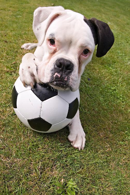 Hund Boxer mit Fussball|  dog with football