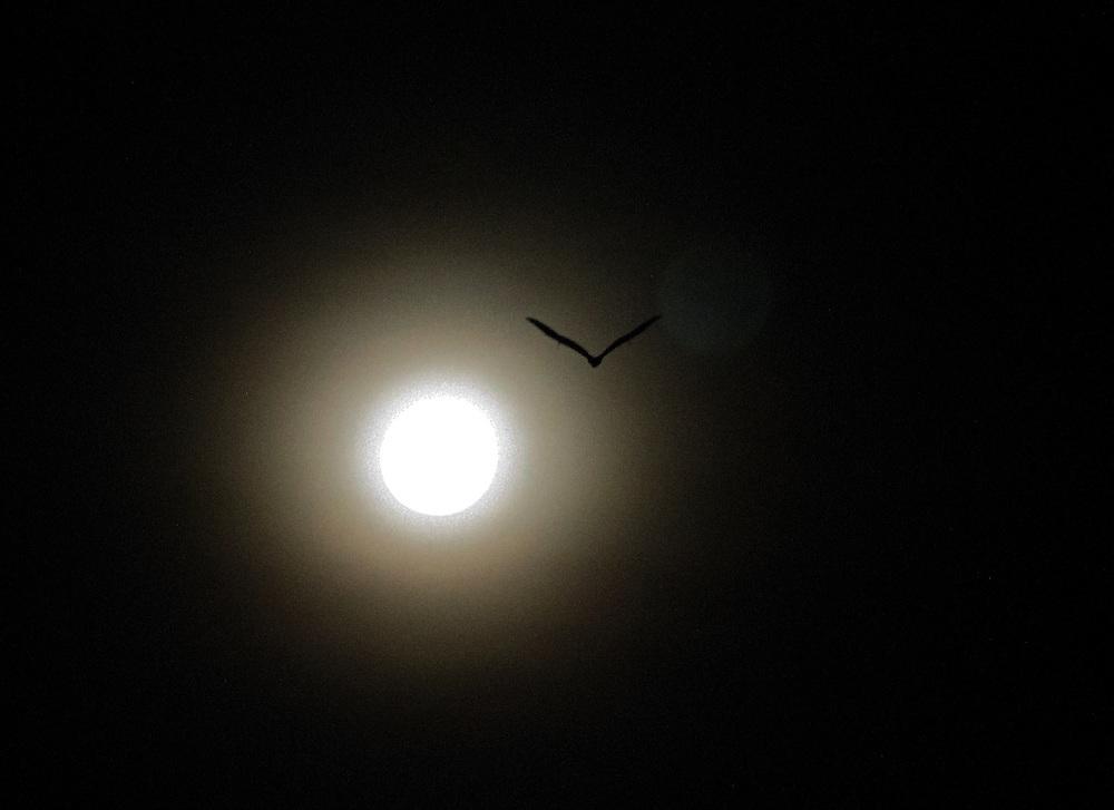 On the night of the full moon, a fruit bat flies toward its feeding ground, Pine Creek, Northern Territory, Australia.