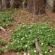Wood Anemone, Anemone quinquefolia