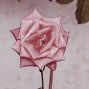 Digitally enhanced vintage image image of a perfect pink rose head