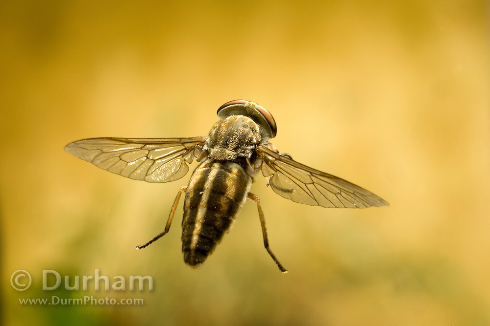 A female striped horse fly (Tabanus similis) in flight. Collected off a horse and photographed with a high-speed camera. NE Oregon