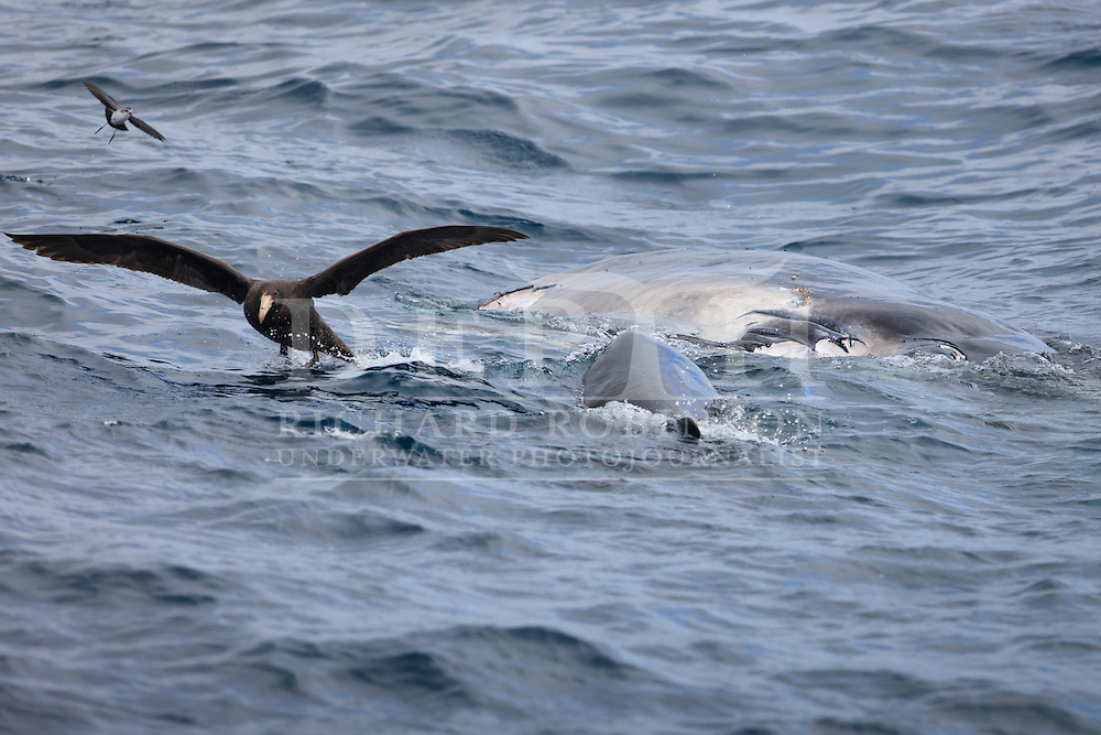 A four-metre- long Great White Shark (Carcharodon carcharias) scares off a Northern Giant Petrel (Macronectes halli) and fluttering Kermadec Storm Petrels (Pelagodroma albiclunis) feeding on a recently deceased humpback whale (Megaptera novaeangliae) calf, around six metres long off the coast of Raoul Island in the Kermadec archipelago, New Zealand.<br /> October 2015<br /> Photograph Richard Robinson © 2015