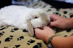 Sedated rabbit prior to undergoing dental work at Rushcliffe Veterinary Surgery, Nottingham, UK.