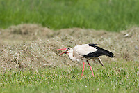 White stork (Ciconia ciconia) feeding in field of newly cut hay. Lithuania. Mission: Lithuania, June 2009